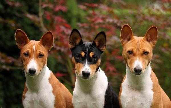Маленькие-породы-собак-Описание-особенности-названия-и-виды-маленьких-собак-13