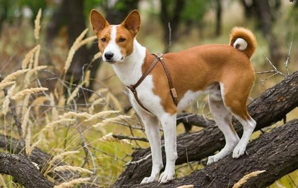 Маленькие-породы-собак-Описание-особенности-названия-и-виды-маленьких-собак-14