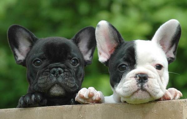 Маленькие-породы-собак-Описание-особенности-названия-и-виды-маленьких-собак-15