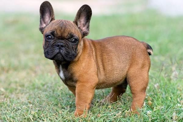 Маленькие-породы-собак-Описание-особенности-названия-и-виды-маленьких-собак-16