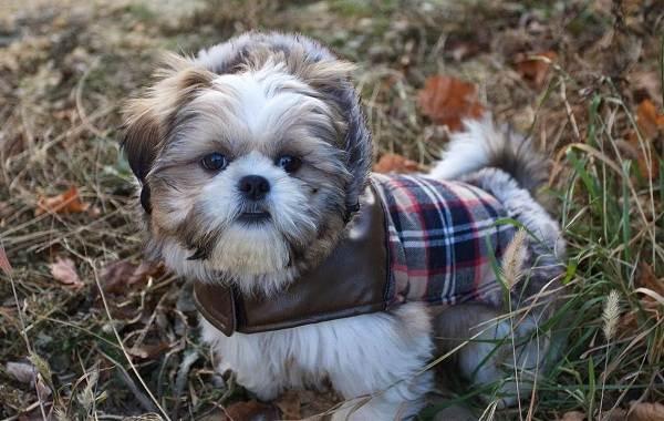 Маленькие-породы-собак-Описание-особенности-названия-и-виды-маленьких-собак-17