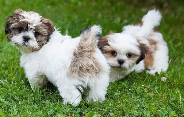Маленькие-породы-собак-Описание-особенности-названия-и-виды-маленьких-собак-18