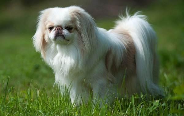 Маленькие-породы-собак-Описание-особенности-названия-и-виды-маленьких-собак-19