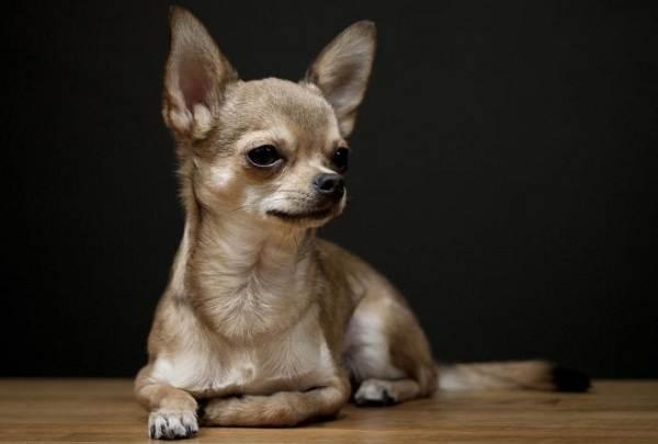 Маленькие-породы-собак-Описание-особенности-названия-и-виды-маленьких-собак-2
