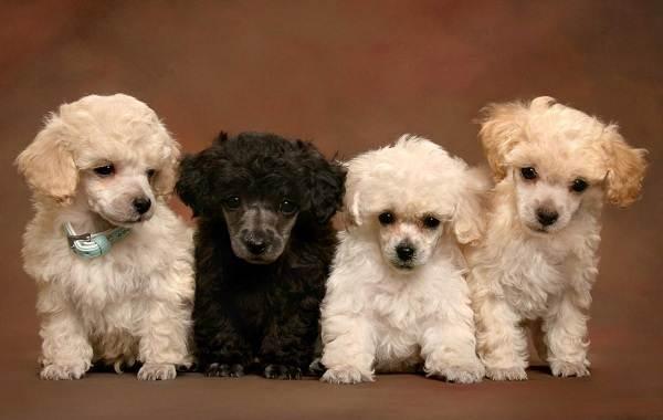 Маленькие-породы-собак-Описание-особенности-названия-и-виды-маленьких-собак-20