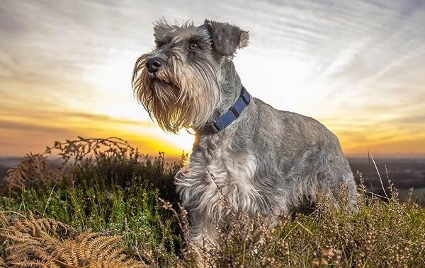 Маленькие-породы-собак-Описание-особенности-названия-и-виды-маленьких-собак-21