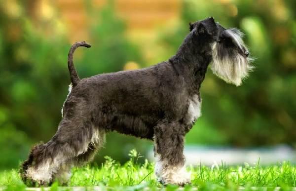 Маленькие-породы-собак-Описание-особенности-названия-и-виды-маленьких-собак-22