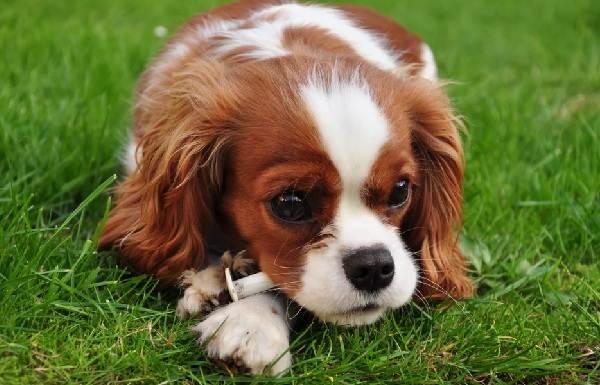 Маленькие-породы-собак-Описание-особенности-названия-и-виды-маленьких-собак-25