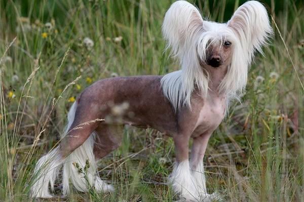 Маленькие-породы-собак-Описание-особенности-названия-и-виды-маленьких-собак-26