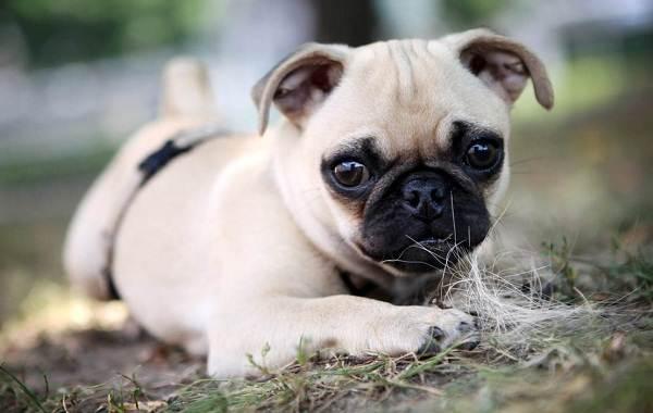 Маленькие-породы-собак-Описание-особенности-названия-и-виды-маленьких-собак-27