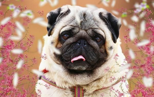 Маленькие-породы-собак-Описание-особенности-названия-и-виды-маленьких-собак-28