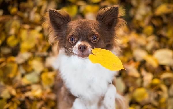Маленькие-породы-собак-Описание-особенности-названия-и-виды-маленьких-собак-3