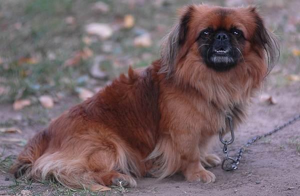 Маленькие-породы-собак-Описание-особенности-названия-и-виды-маленьких-собак-4