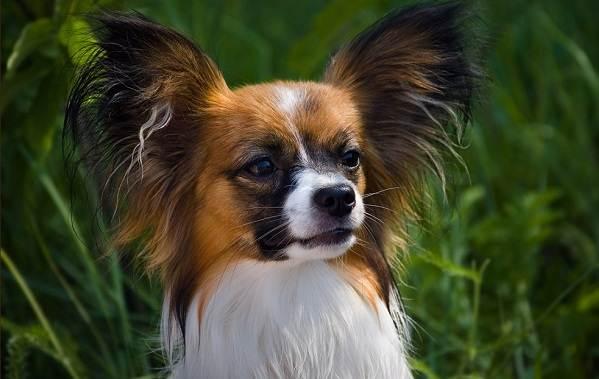 Маленькие-породы-собак-Описание-особенности-названия-и-виды-маленьких-собак-5