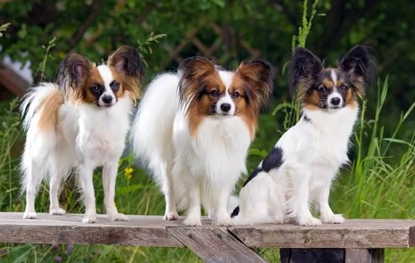 Маленькие-породы-собак-Описание-особенности-названия-и-виды-маленьких-собак-6