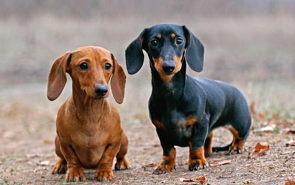 Маленькие-породы-собак-Описание-особенности-названия-и-виды-маленьких-собак-7