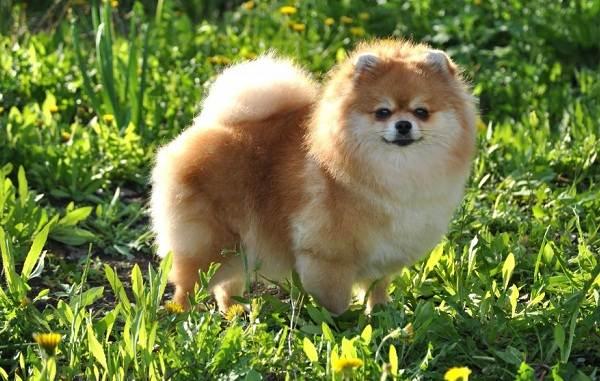 Маленькие-породы-собак-Описание-особенности-названия-и-виды-маленьких-собак-8