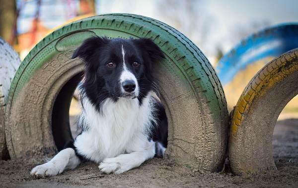 Средние-породы-собак-Описания-особенности-названия-и-виды -средних-пород-собак-11
