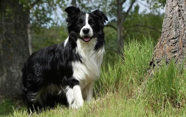 Средние-породы-собак-Описания-особенности-названия-и-виды -средних-пород-собак-12