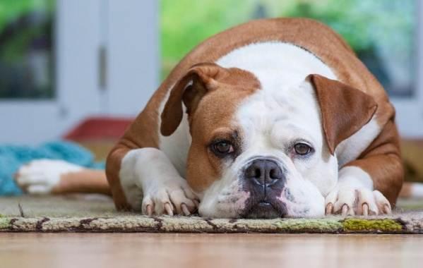 Средние-породы-собак-Описания-особенности-названия-и-виды -средних-пород-собак-14
