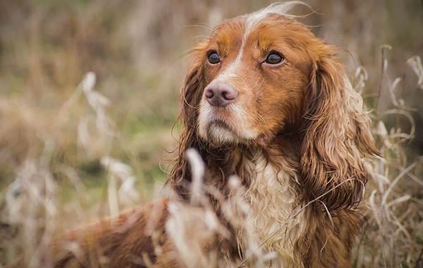 Средние-породы-собак-Описания-особенности-названия-и-виды -средних-пород-собак-33