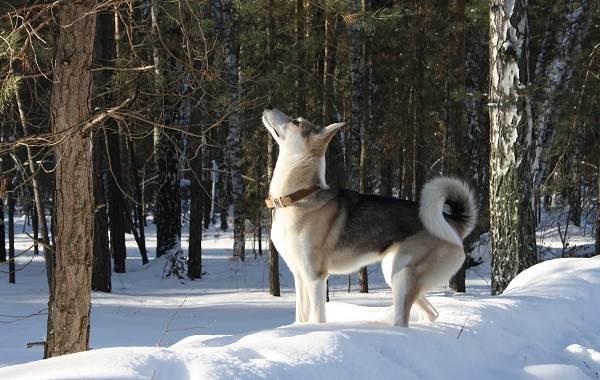 Средние-породы-собак-Описания-особенности-названия-и-виды -средних-пород-собак-35