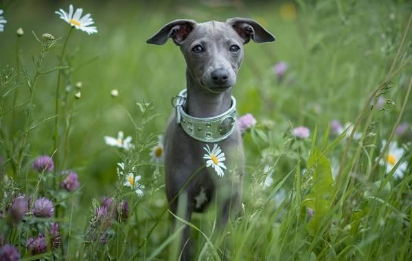 Средние-породы-собак-Описания-особенности-названия-и-виды -средних-пород-собак-36