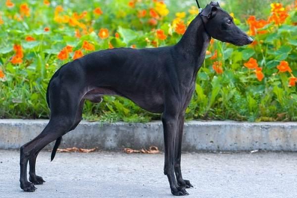 Средние-породы-собак-Описания-особенности-названия-и-виды -средних-пород-собак-37