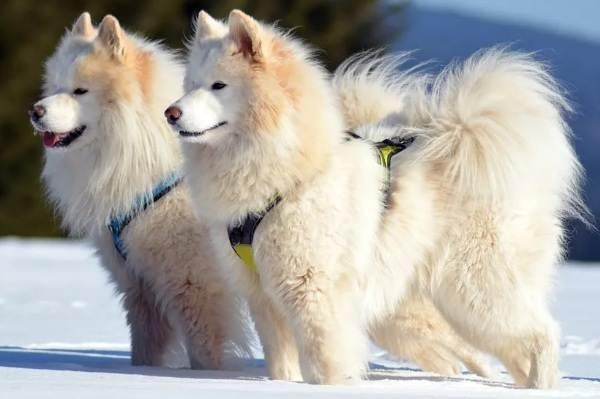 Средние-породы-собак-Описания-особенности-названия-и-виды -средних-пород-собак-38