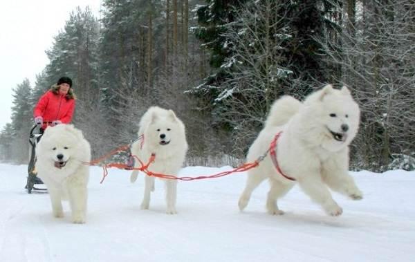 Средние-породы-собак-Описания-особенности-названия-и-виды -средних-пород-собак-39