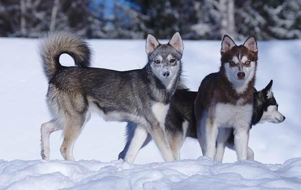 Средние-породы-собак-Описания-особенности-названия-и-виды -средних-пород-собак-40