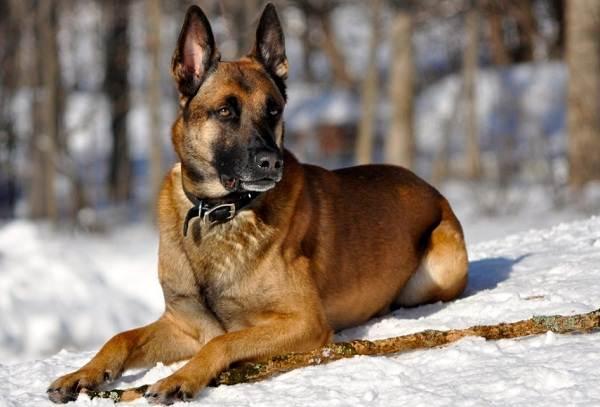 Средние-породы-собак-Описания-особенности-названия-и-виды -средних-пород-собак-43