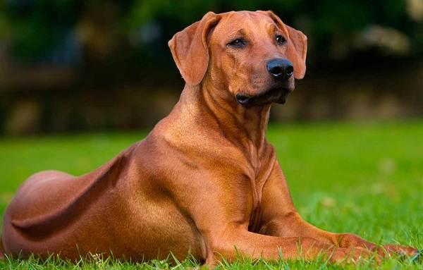 Средние-породы-собак-Описания-особенности-названия-и-виды -средних-пород-собак-45