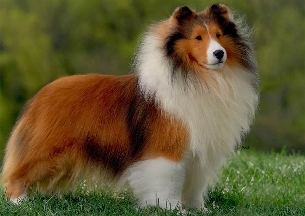 Средние-породы-собак-Описания-особенности-названия-и-виды -средних-пород-собак-47