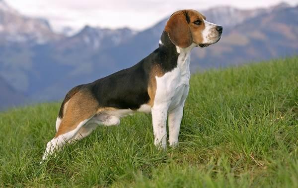 Средние-породы-собак-Описания-особенности-названия-и-виды -средних-пород-собак-49