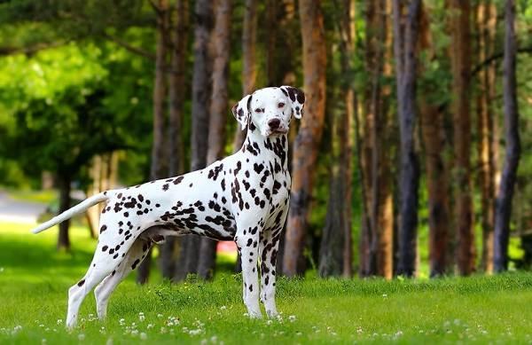 Средние-породы-собак-Описания-особенности-названия-и-виды -средних-пород-собак-6