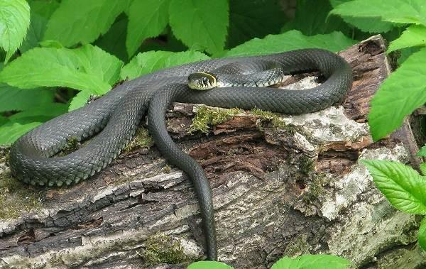 Виды-змей-Описания-названия-и-особенности-видов-змей-26
