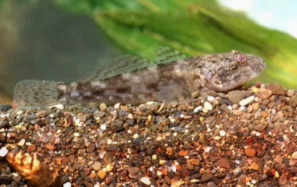 Рыба-бычок-Описание-особенности-виды-и-среда-обитания-бычка-12