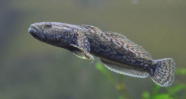 Рыба-бычок-Описание-особенности-виды-и-среда-обитания-бычка-13