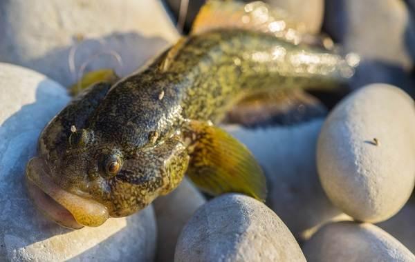 Рыба-бычок-Описание-особенности-виды-и-среда-обитания-бычка-14