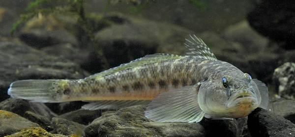 Рыба-бычок-Описание-особенности-виды-и-среда-обитания-бычка-15