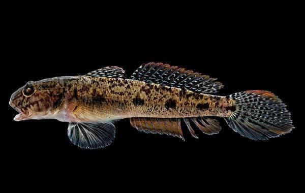 Рыба-бычок-Описание-особенности-виды-и-среда-обитания-бычка-2