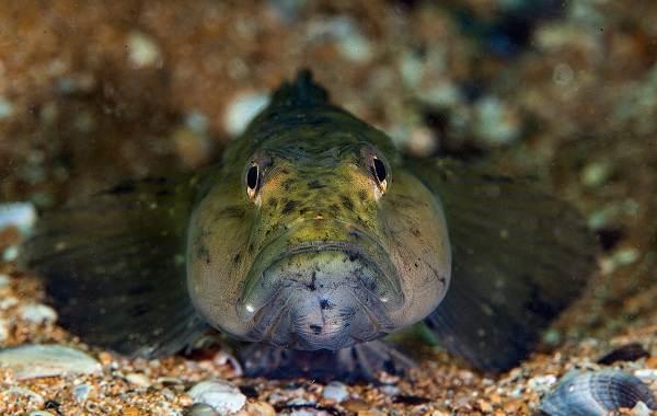 Рыба-бычок-Описание-особенности-виды-и-среда-обитания-бычка-3