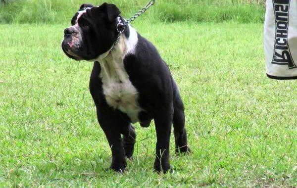 Бразильский-бульдог-собака-Описание-особенности-виды-уход-и-цена-породы-12