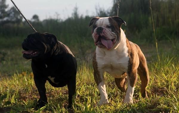 Бразильский-бульдог-собака-Описание-особенности-виды-уход-и-цена-породы-13