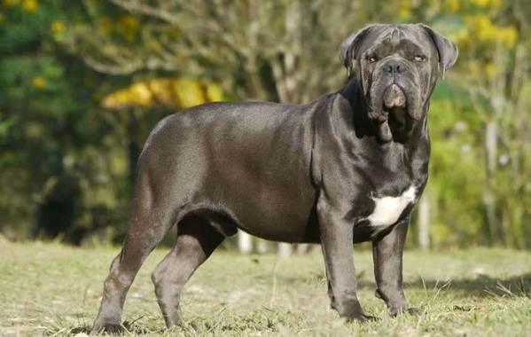 Бразильский-бульдог-собака-Описание-особенности-виды-уход-и-цена-породы-4