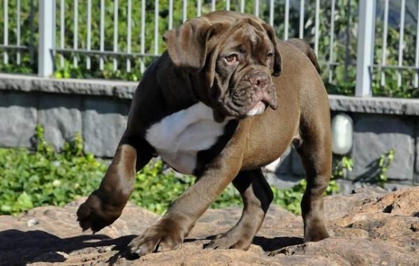 Бразильский-бульдог-собака-Описание-особенности-виды-уход-и-цена-породы-6