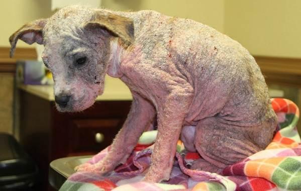 Демодекоз-у-собак-Описание-особенности-симптомы-и-лечение-демодекоза-11
