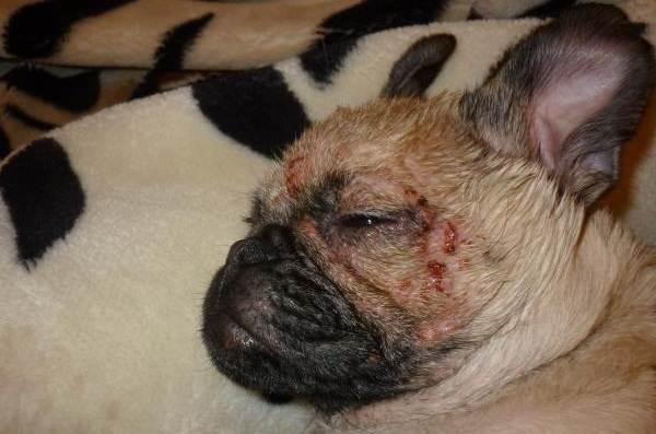 Демодекоз-у-собак-Описание-особенности-симптомы-и-лечение-демодекоза-12