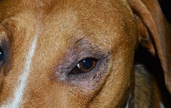 Демодекоз-у-собак-Описание-особенности-симптомы-и-лечение-демодекоза-2